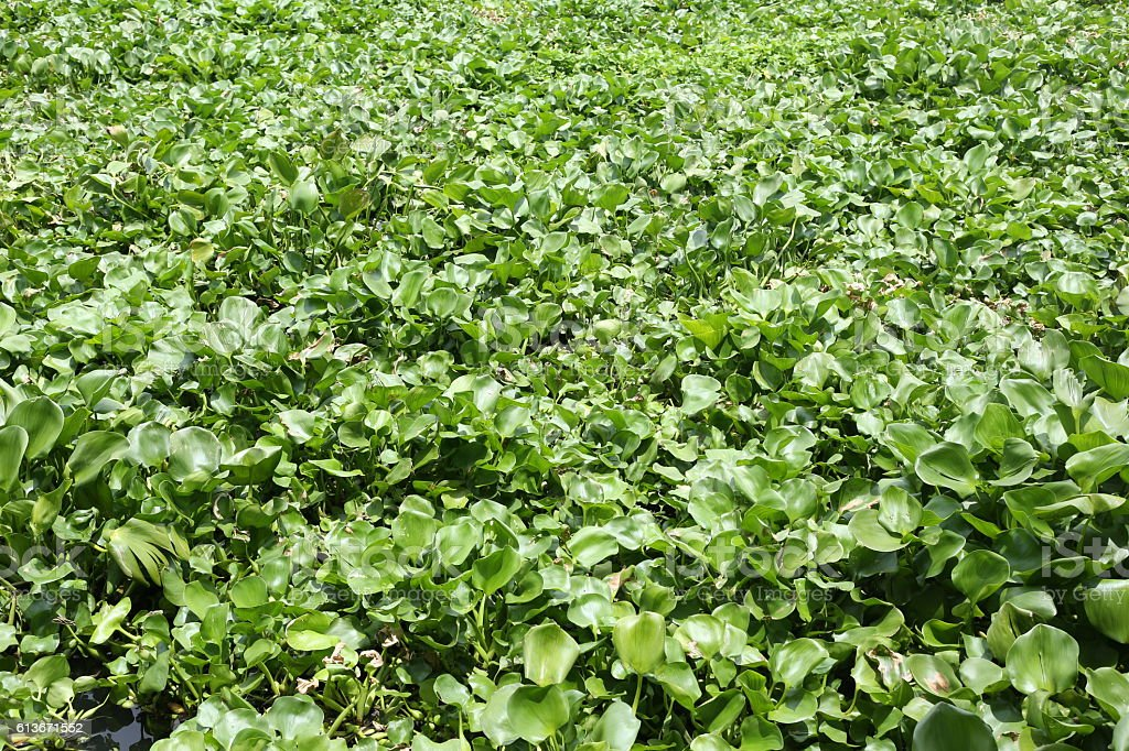 Water hyacinth plant is growing in canal max space. stock photo