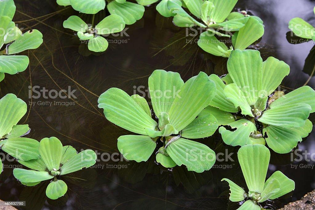Water lettuce (Pistia stratiotes), aquatic plant. stock photo