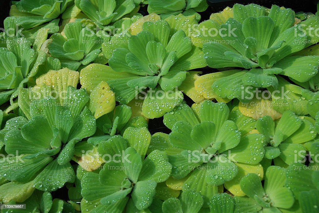 water lettuce background stock photo