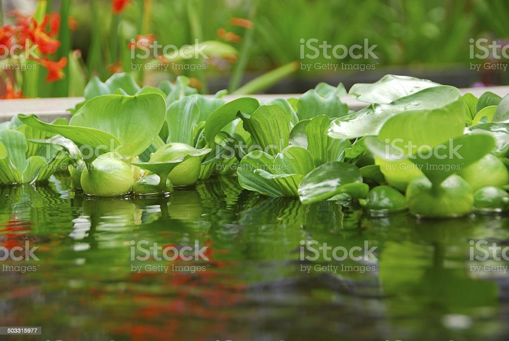 Water Lettuce floating in a pond. stock photo