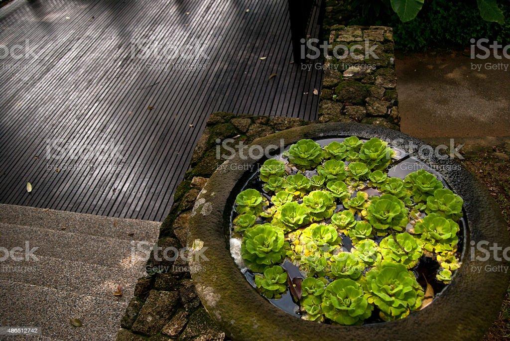Water lettuce in a stone flower pot stock photo