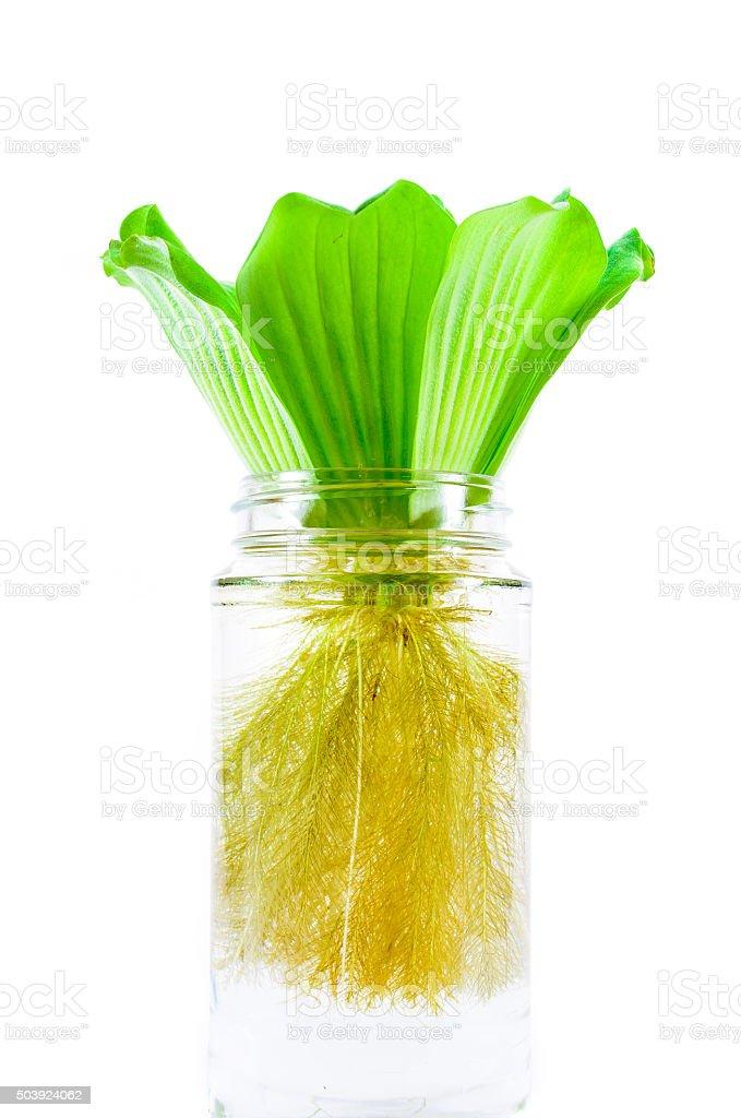 Water Lettuce in Jar stock photo