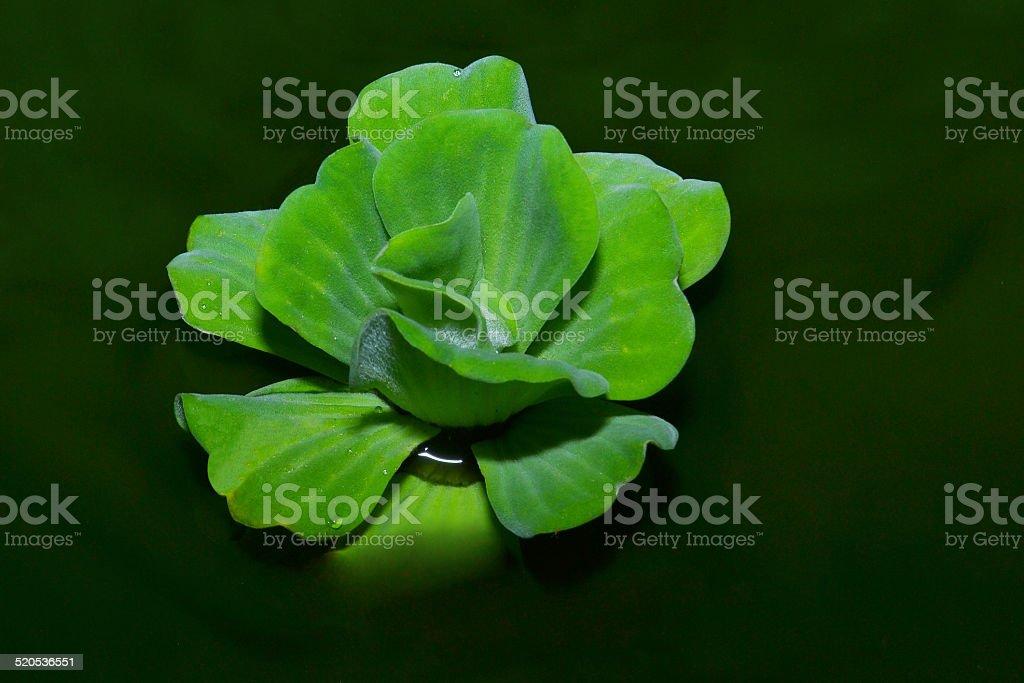 Water Lettuce plant stock photo