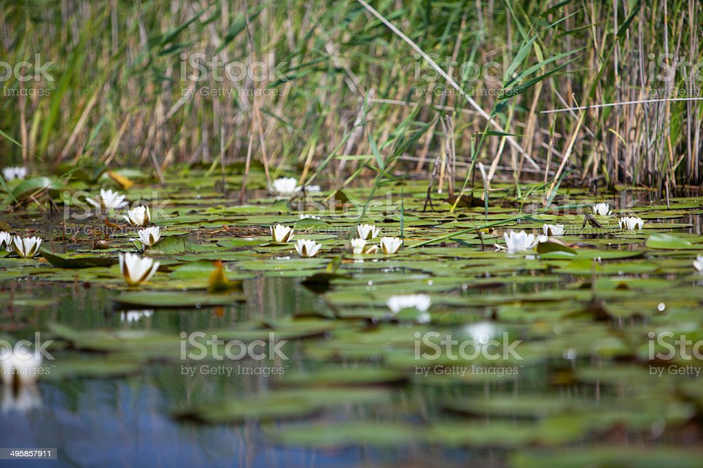 Water lilies among grass canes stock photo