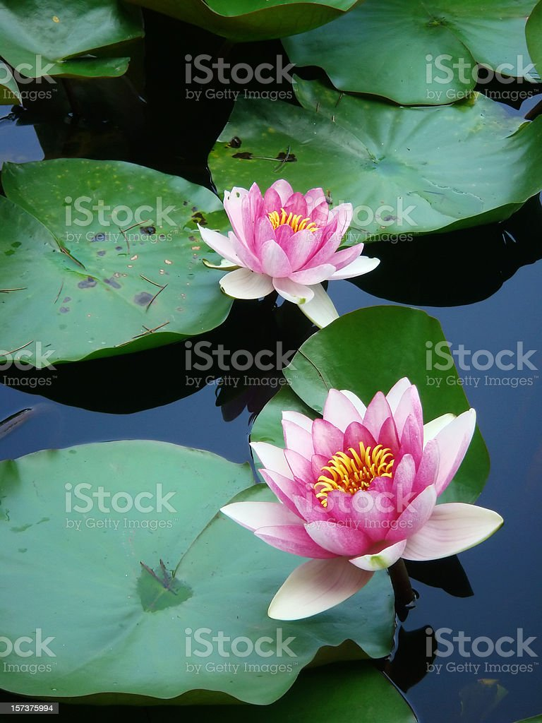 Water lilies and green leaves stock photo