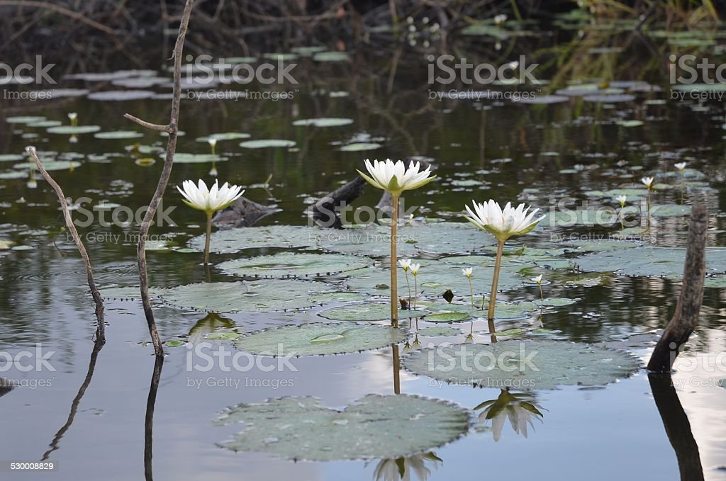 Water Lilies and Lily Pads royalty-free stock photo