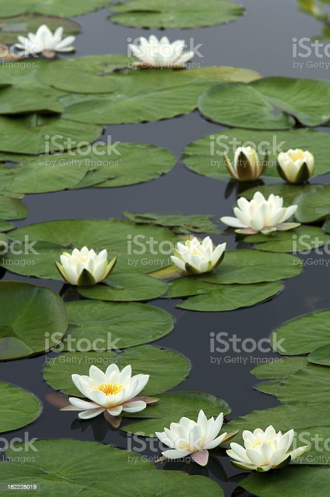 Water Lilies Composition royalty-free stock photo