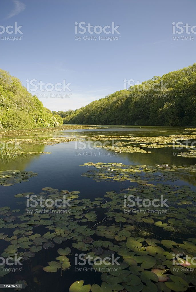 Water Lilies covering Lake royalty-free stock photo