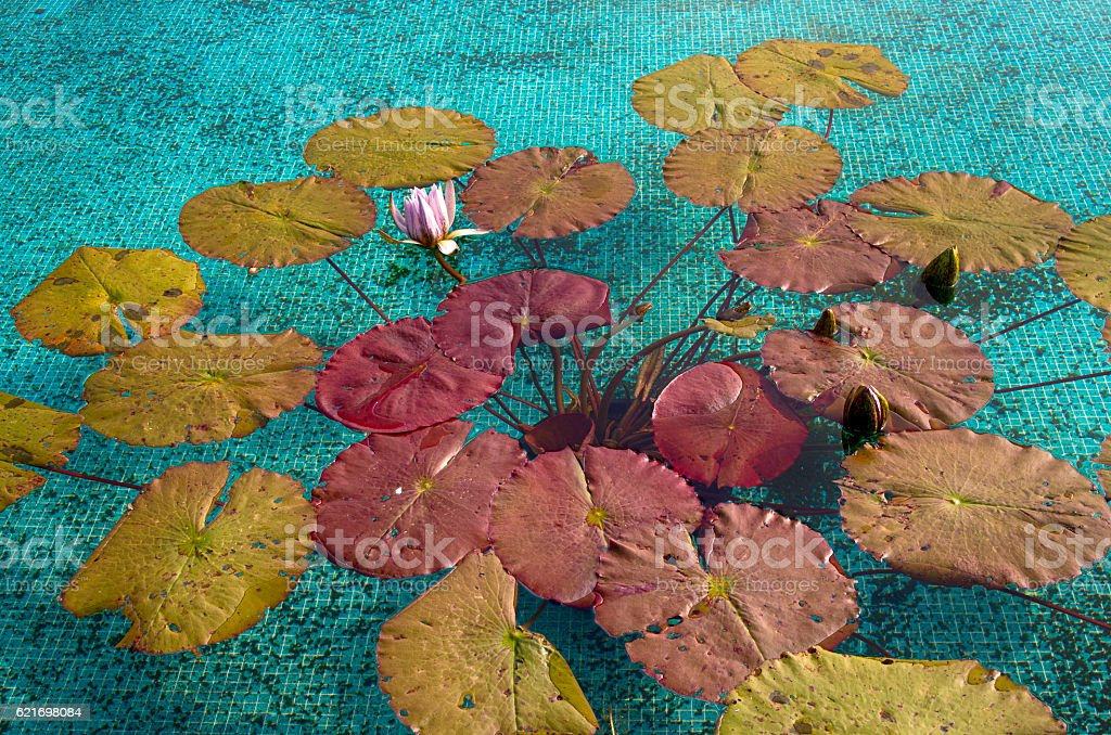 Water lilies during Autumn royalty-free stock photo