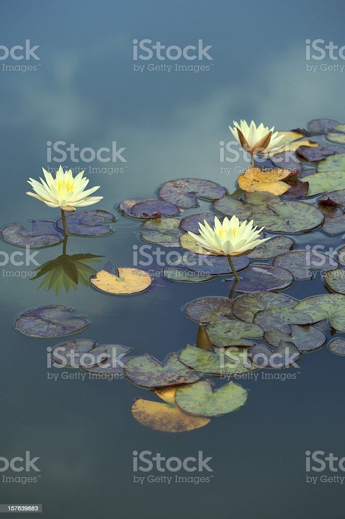 water lilies floating in the sky stock photo
