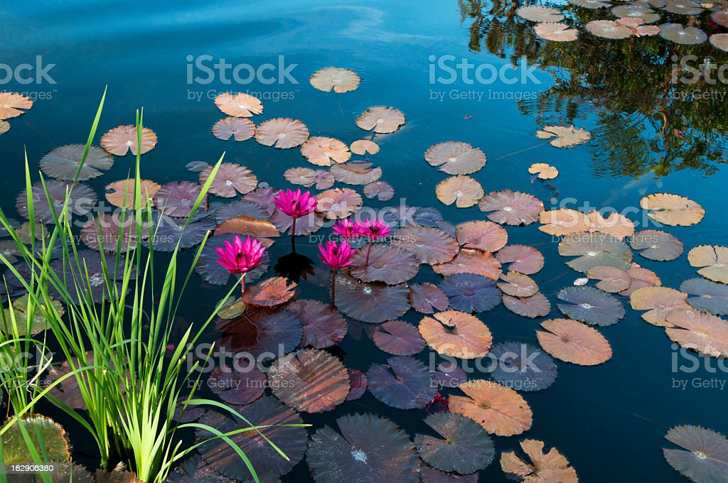 Water lilies floating on a lake with flowers on top stock photo