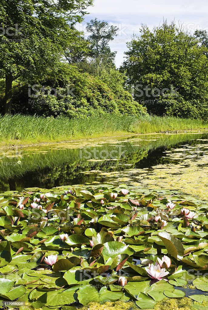 Water Lilies in a Pond royalty-free stock photo
