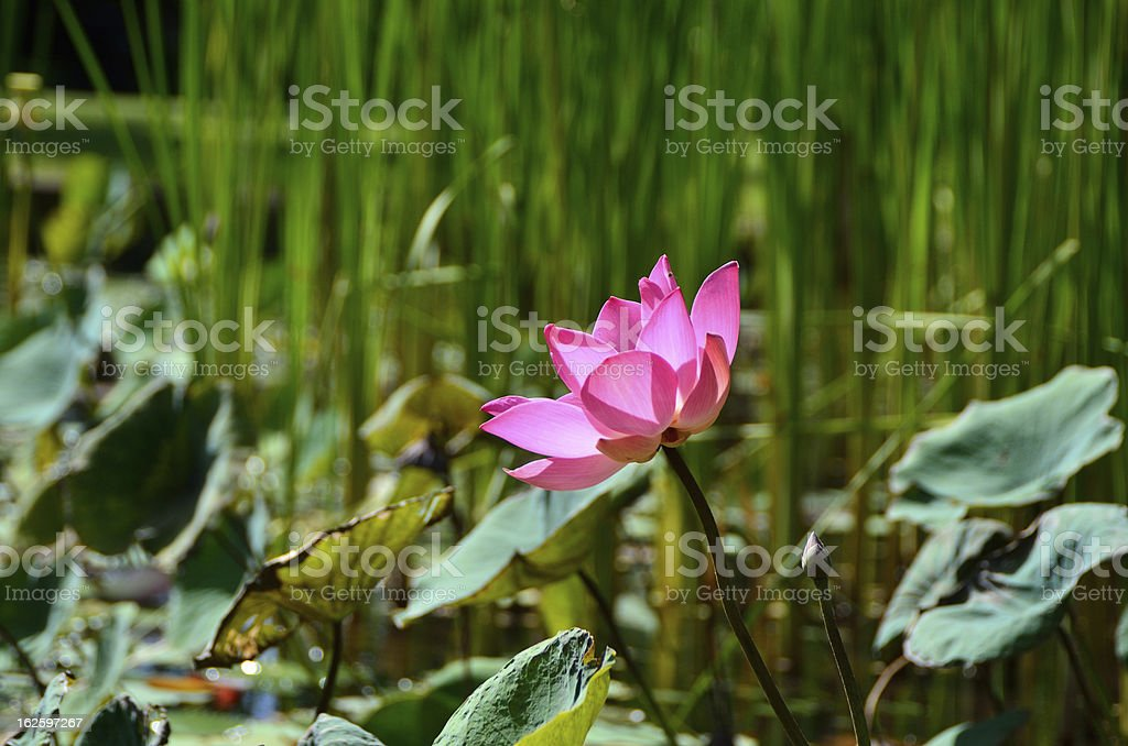 Water lilies in pond stock photo