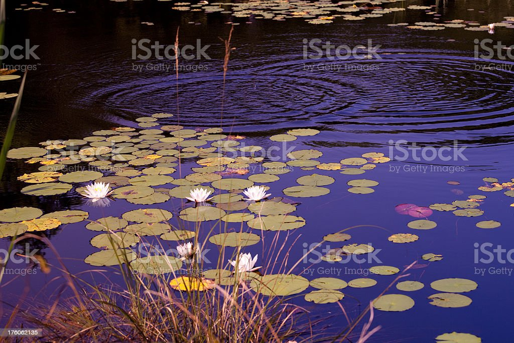 water lilies on blue pool royalty-free stock photo