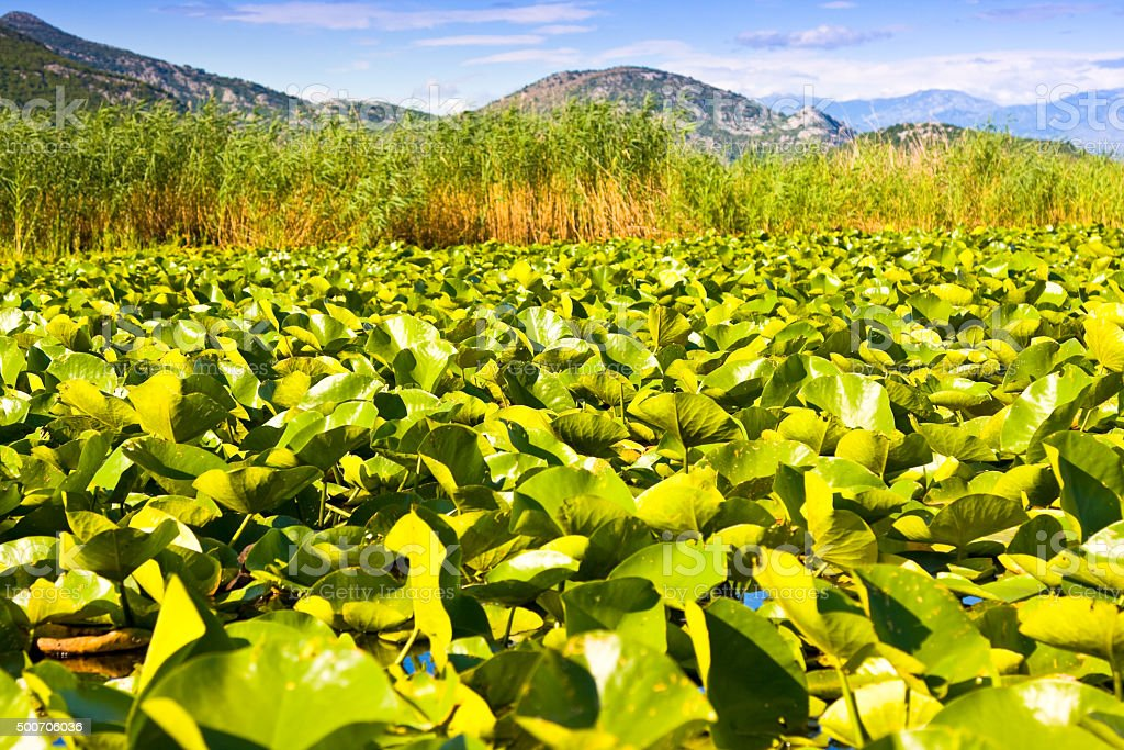 Water lilies on Skadar Lake National Park stock photo