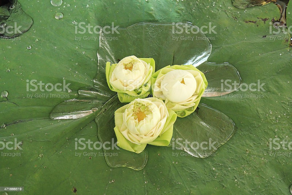 Water Lilies royalty-free stock photo