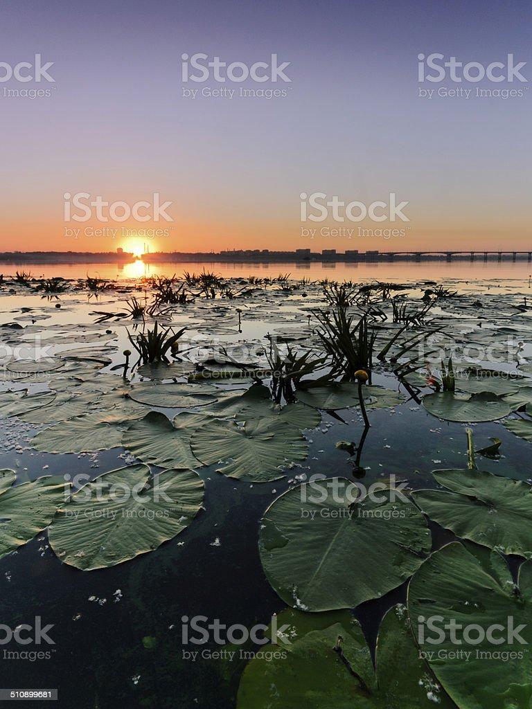 lilies de agua foto de stock libre de derechos