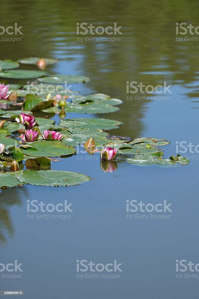 Water Lilies Pond stock photo