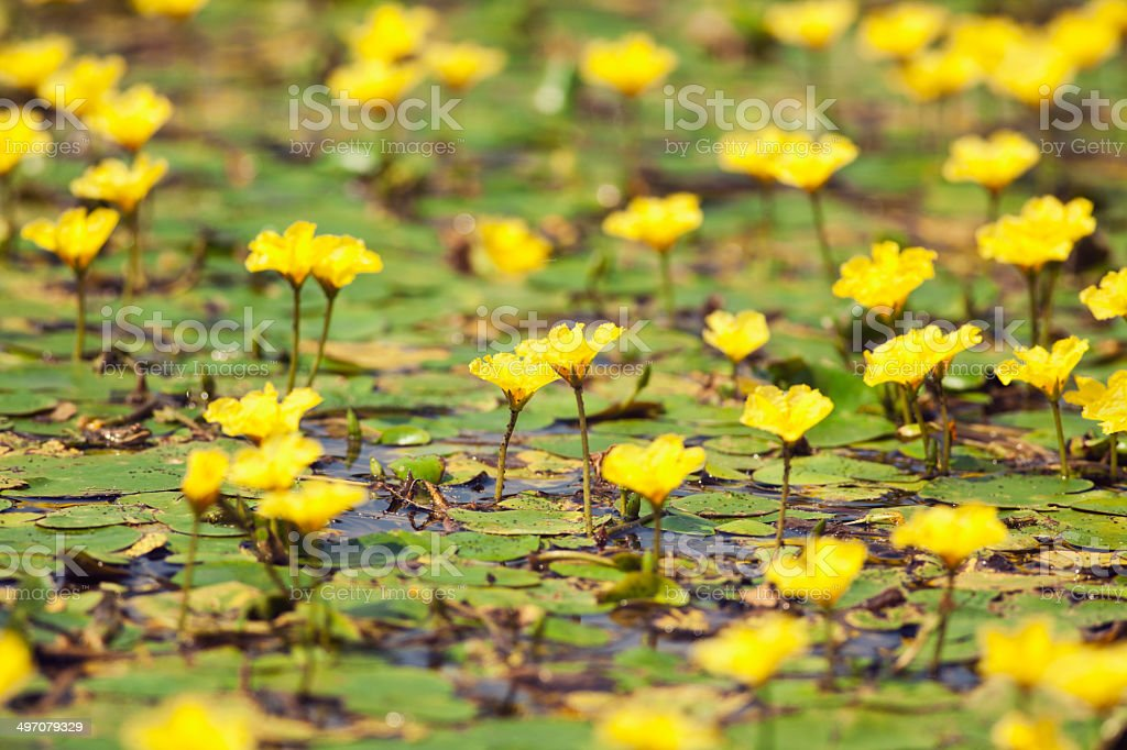 Water liliies royalty-free stock photo
