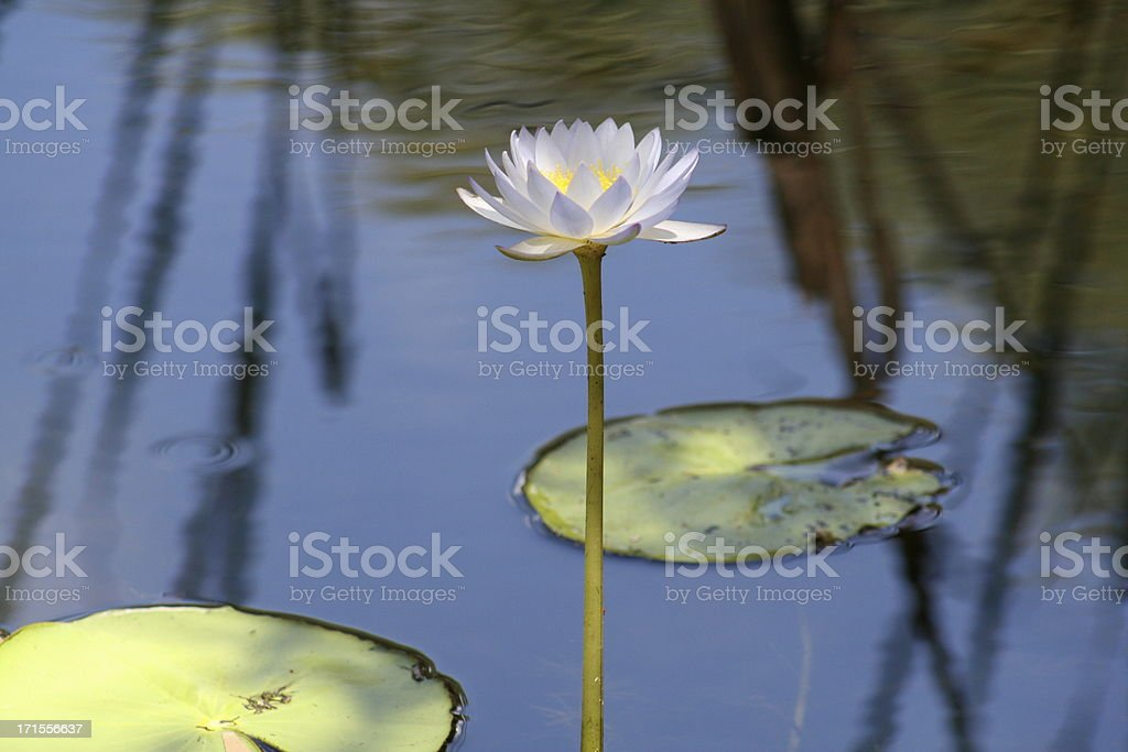 Water lillie royalty-free stock photo