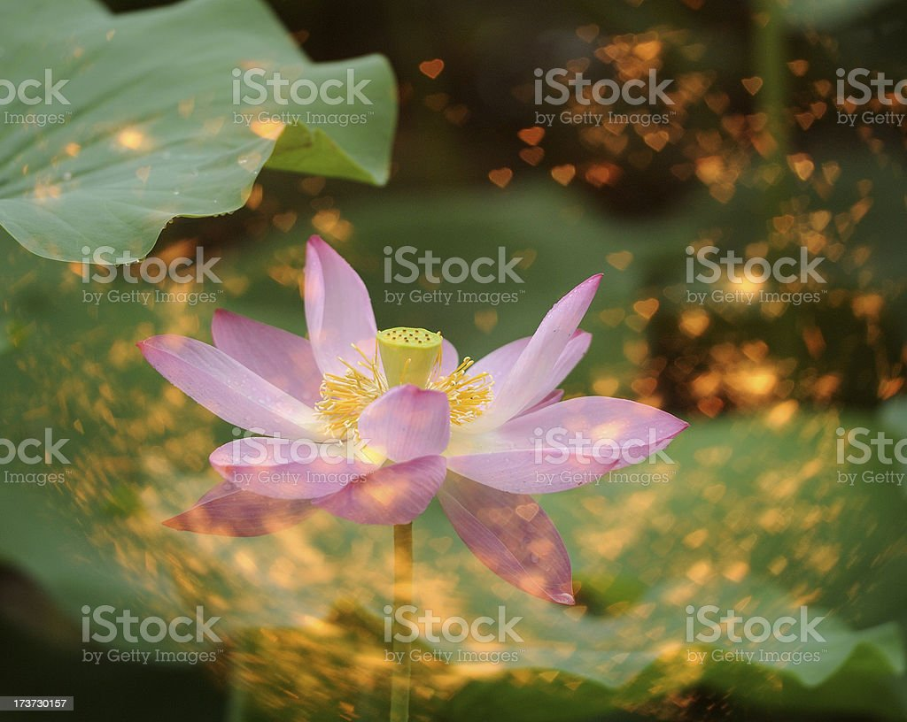 Water lilly in dream royalty-free stock photo
