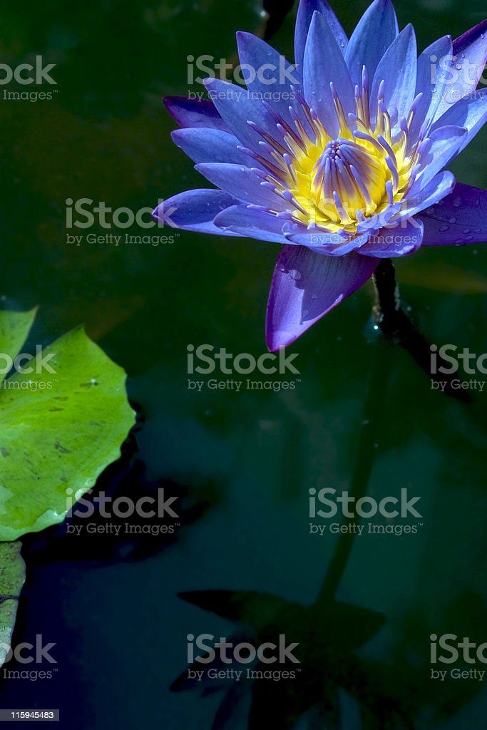 Water Lilly in India vertical purple color flower royalty-free stock photo