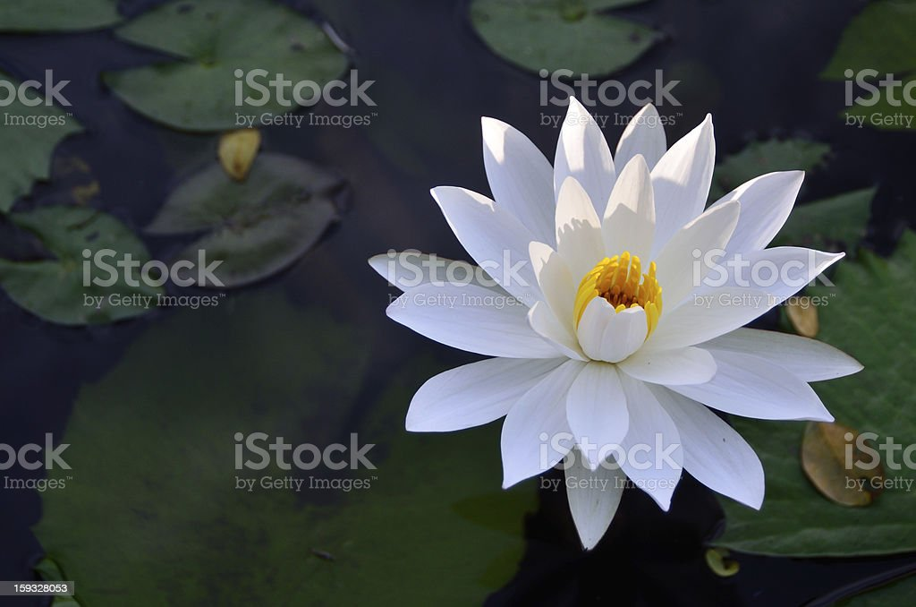 Water Lilly in the pond stock photo