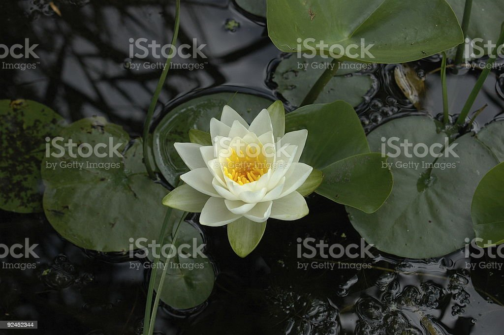 Water Lilly & lilly pads royalty-free stock photo