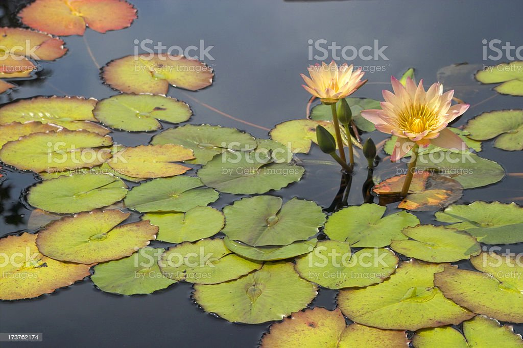 Water Lilly royalty-free stock photo