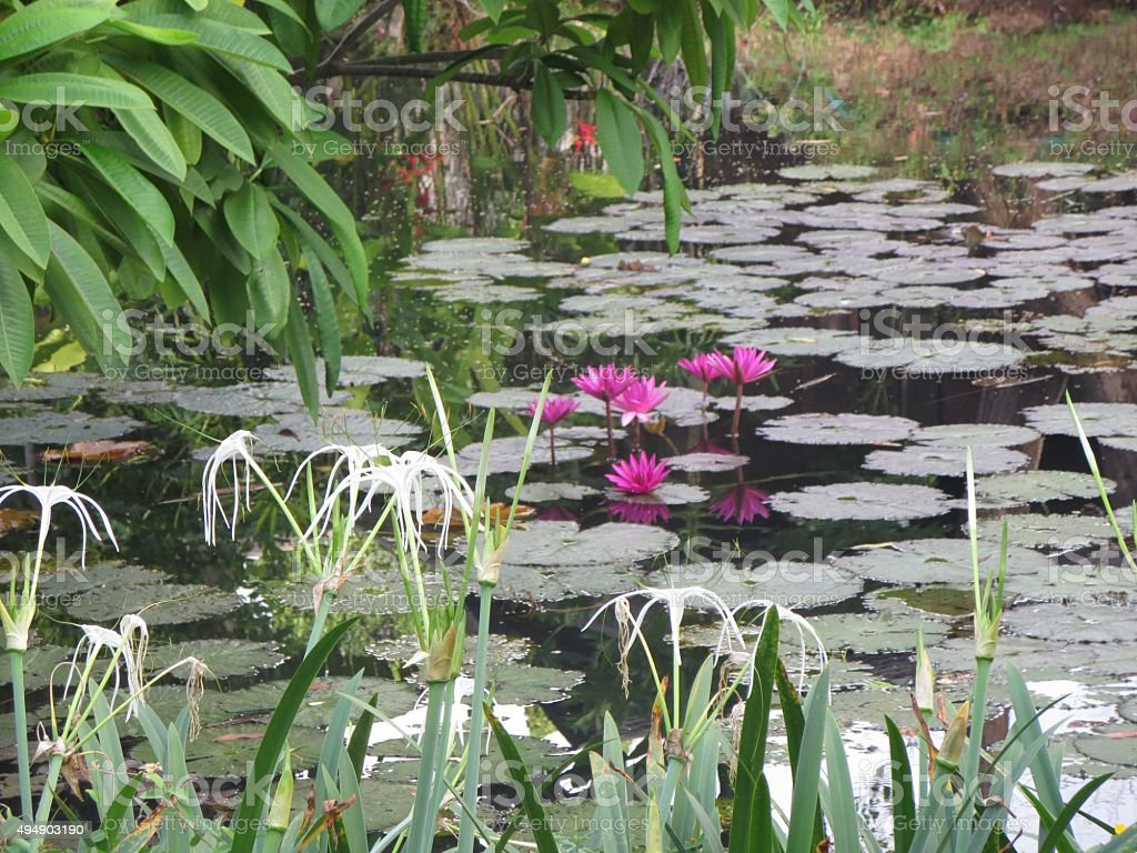 Water Lilly Pond stock photo