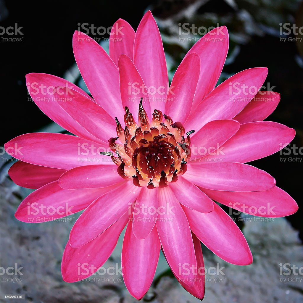 Water lily above pond royalty-free stock photo