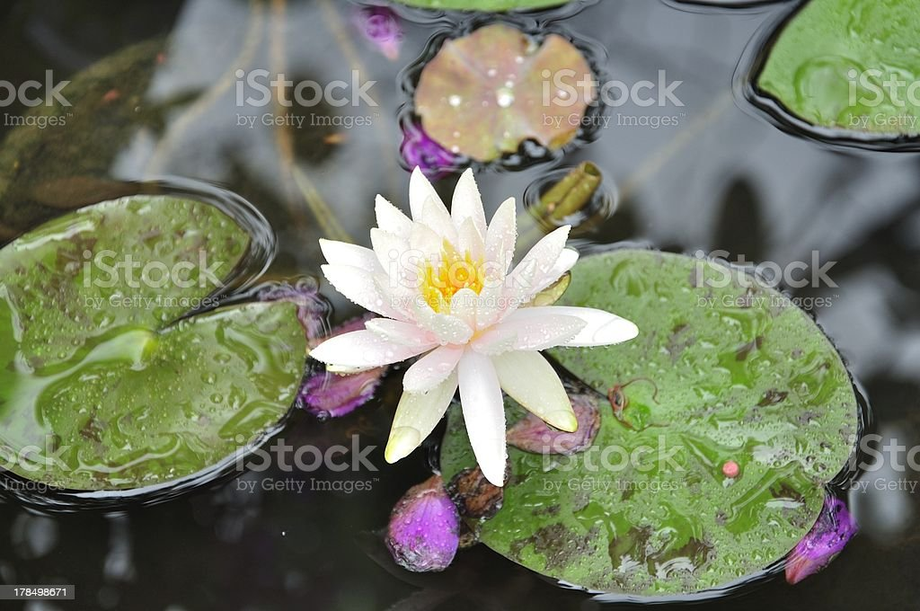 Water lily after rain stock photo