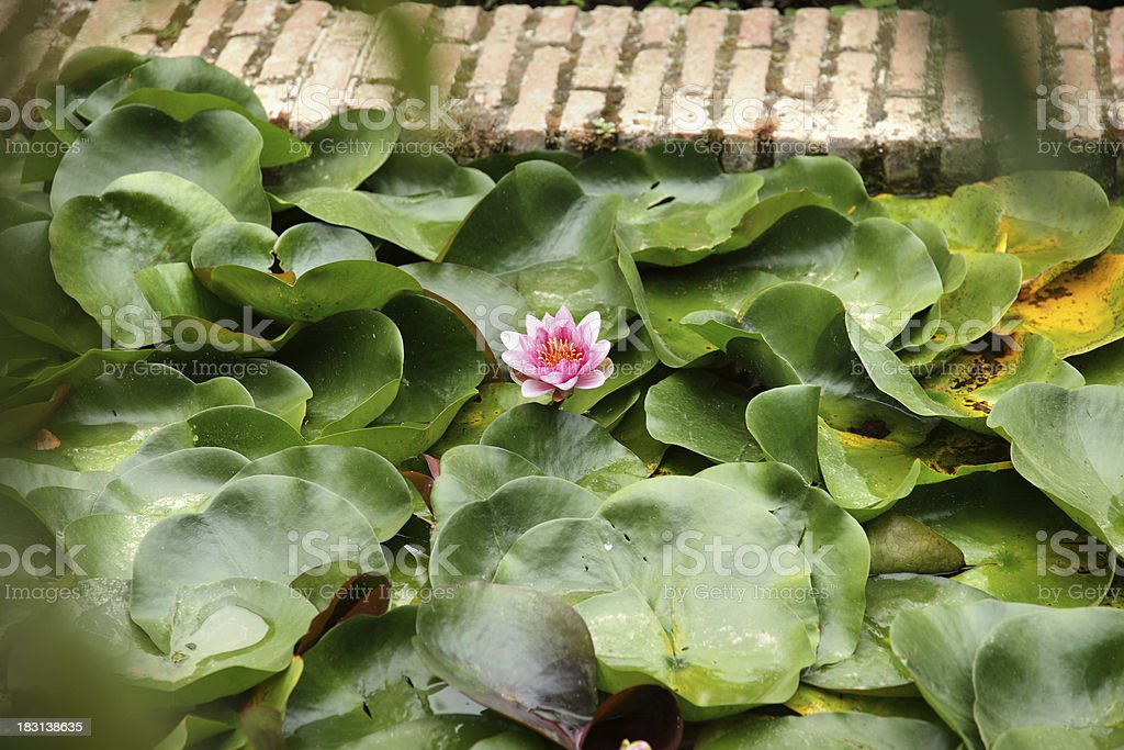 water lily, alhambra royalty-free stock photo