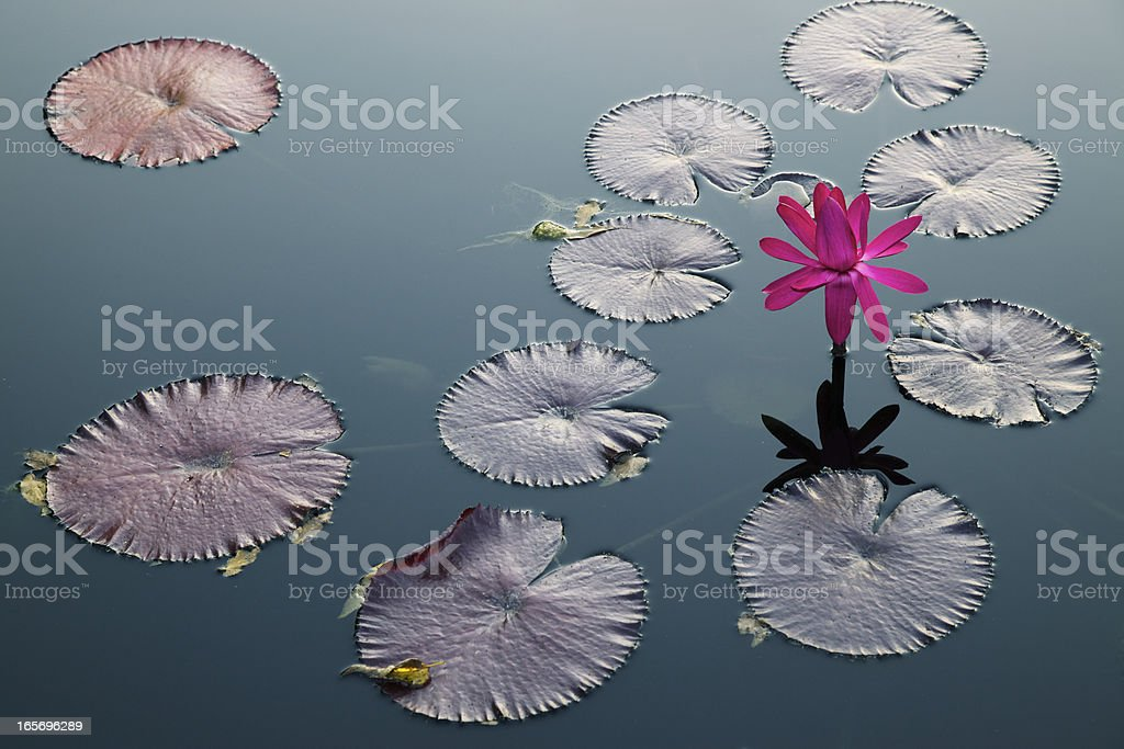 Water Lily and Pads stock photo