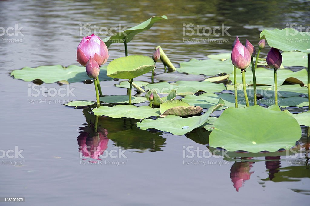 Water lily and reflection stock photo