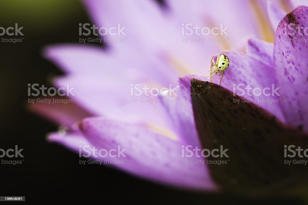 water lily and spider royalty-free stock photo