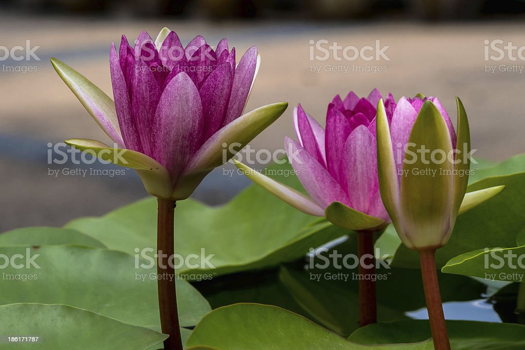 water lily blooming royalty-free stock photo