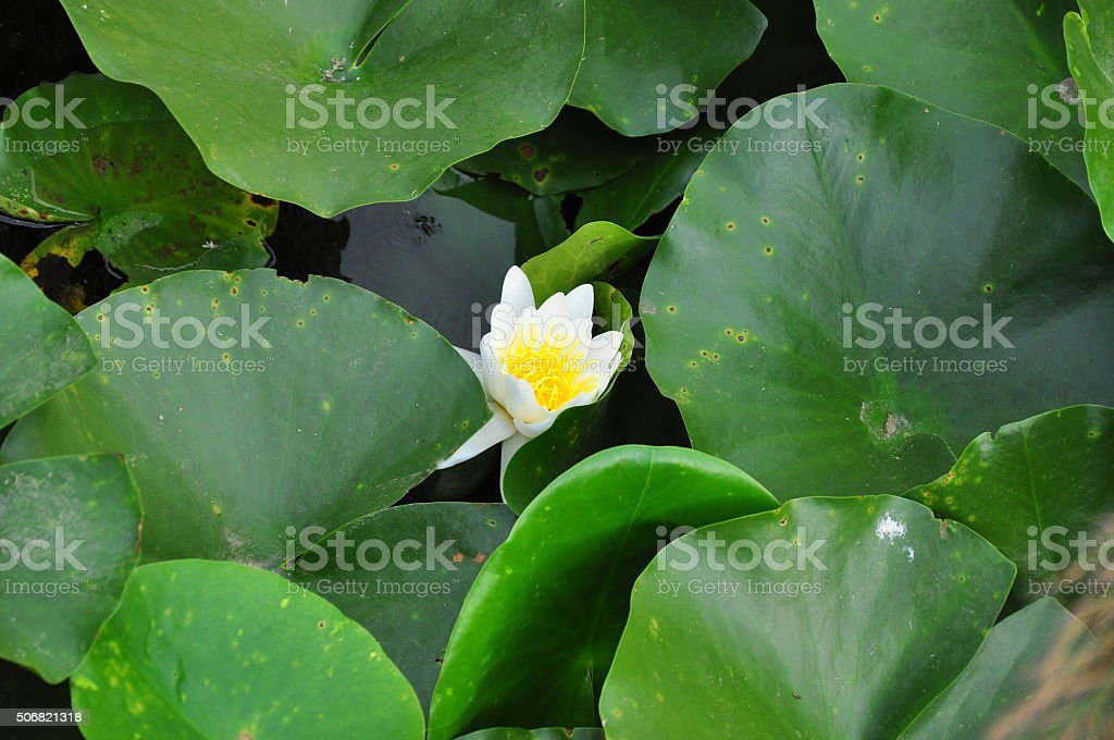 Water lily breaking into blossom stock photo