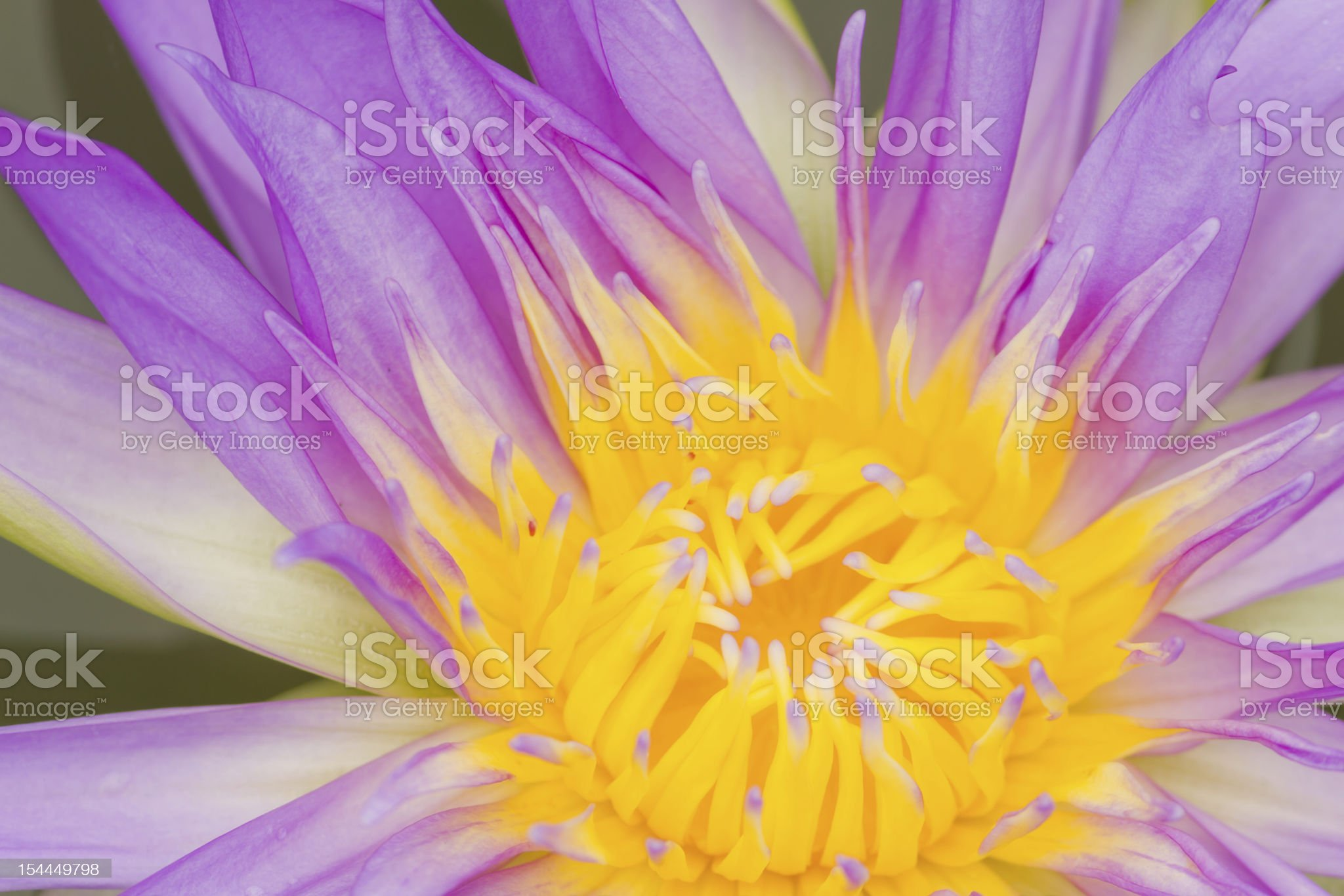 Water lily closeup. royalty-free stock photo