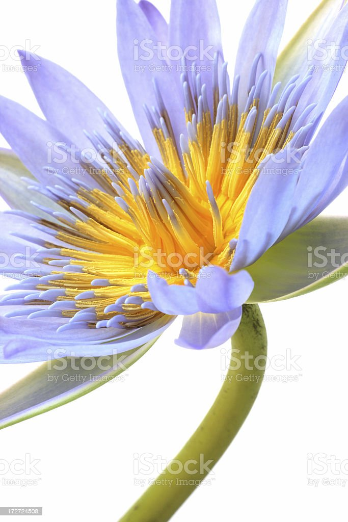 water lily close-up stock photo
