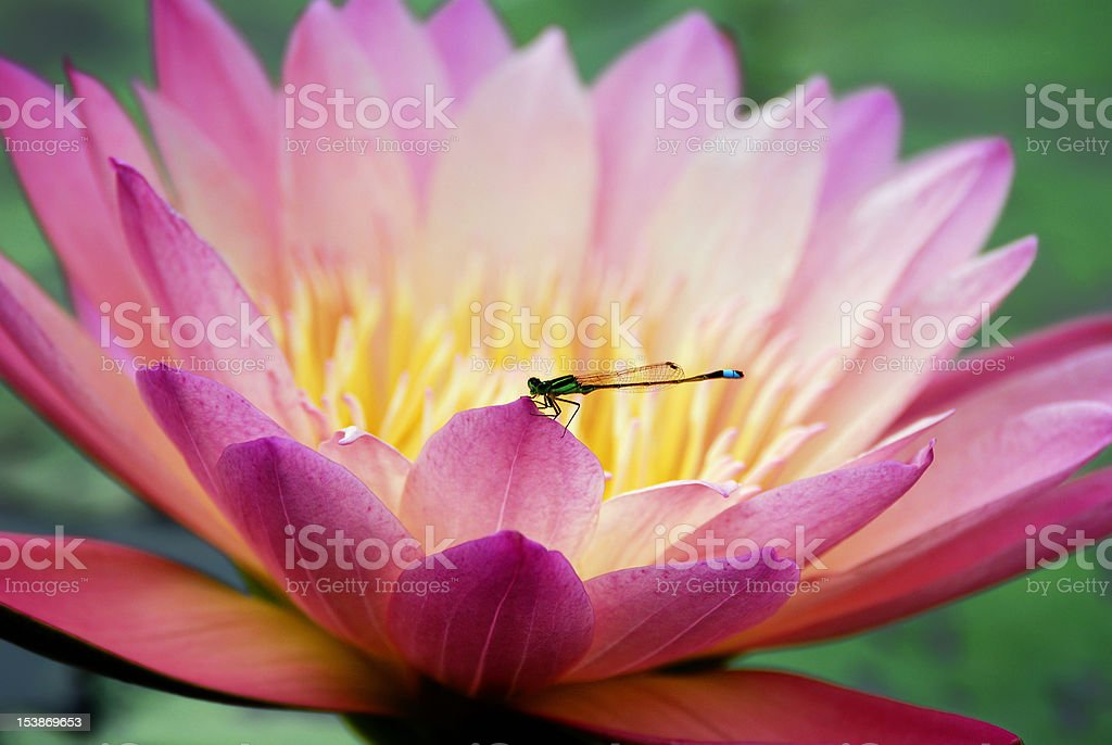 Water lily closeup with dragonfly royalty-free stock photo