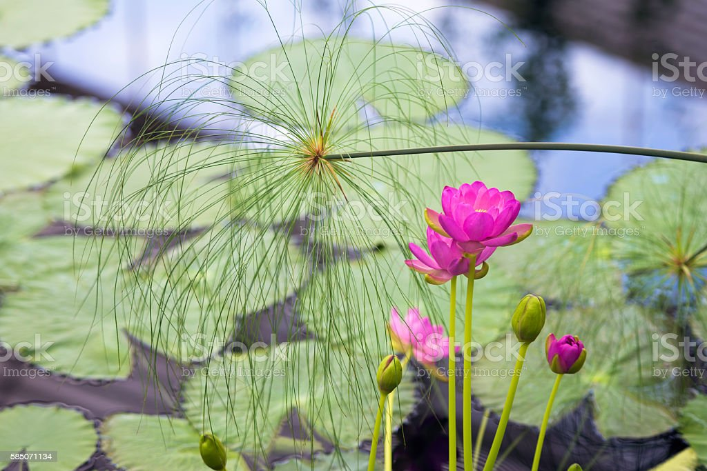 Water lily flower and leaves and papyrus stock photo