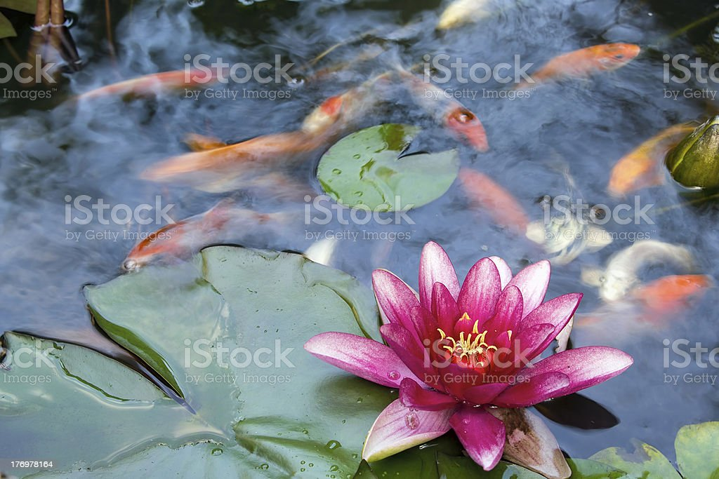 Water Lily Flower Blooming in Koi Pond stock photo