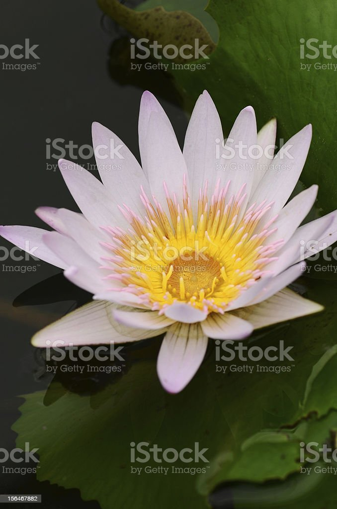Water Lily flower close up royalty-free stock photo
