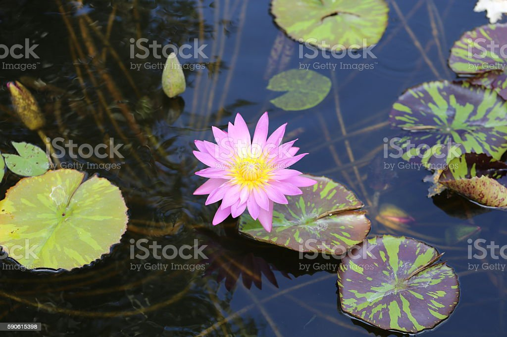 Water Lily Flower. stock photo