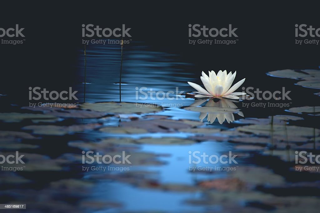 A white water lily flower floats on smooth blue water and reflects on...