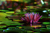 Water lily grow in garden pond