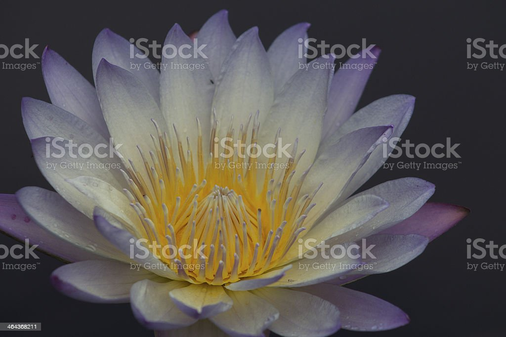 Water Lily Illuminated stock photo
