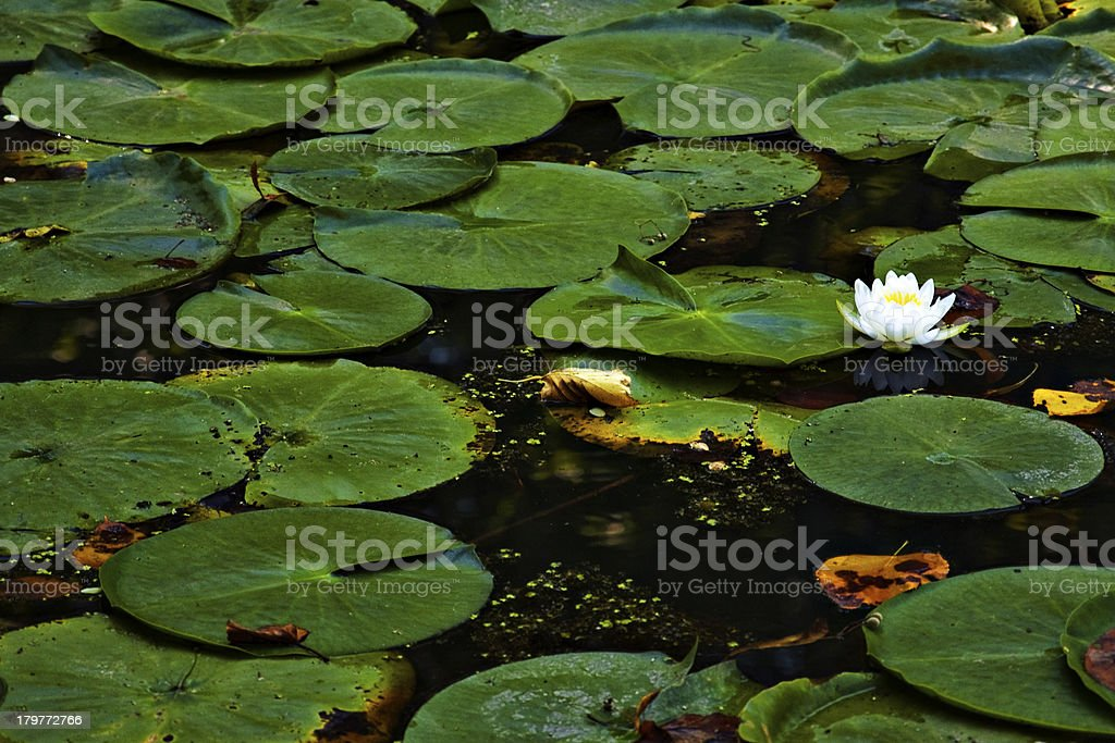 Water Lily in a pond full of leaves royalty-free stock photo
