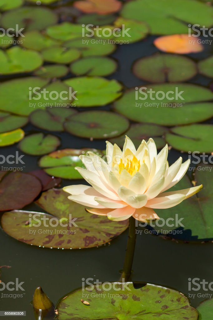 Water Lily (lat. Nymphaea) in a pond stock photo